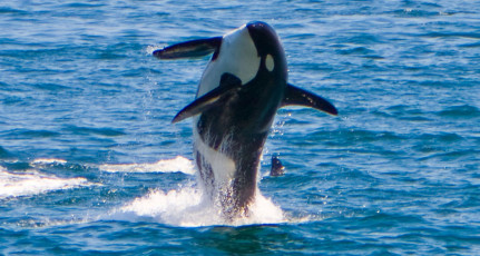 Orca, Coming at ya!