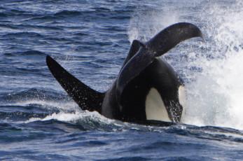 Orca Dive