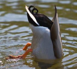 Duck Behind